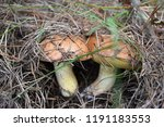 forest edible mushrooms grow in ... | Shutterstock . vector #1191183553