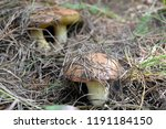forest edible mushrooms grow in ... | Shutterstock . vector #1191184150