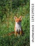 beautiful red fox  vulpes... | Shutterstock . vector #1191195013