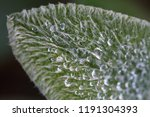 Leaf Of Lamb\'s Ear With Water...