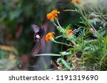 butterfly with marigold flower. ... | Shutterstock . vector #1191319690
