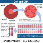 cell  chromosome and dna vector ... | Shutterstock .eps vector #1191330850