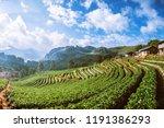 strawberry farm background...   Shutterstock . vector #1191386293