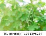 wild bitter gourd  bitter... | Shutterstock . vector #1191396289