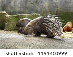 Crested porcupine family closeup.