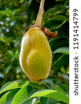 african baobab fruit or monkey... | Shutterstock . vector #1191414799
