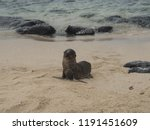 baby seal on the beach in... | Shutterstock . vector #1191451609