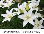 growing white lilies | Shutterstock . vector #1191517429