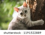 Cute Short Hair Cat  Playing O...