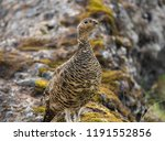 a rock ptarmigan with its... | Shutterstock . vector #1191552856
