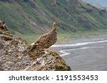 a rock ptarmigan with its... | Shutterstock . vector #1191553453