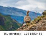 a rock ptarmigan with its... | Shutterstock . vector #1191553456