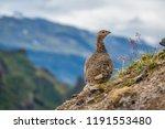 a rock ptarmigan with its... | Shutterstock . vector #1191553480