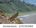 a rock ptarmigan with its... | Shutterstock . vector #1191553483