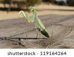 Green Praying  Mantis Religios...