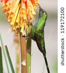 Small photo of Long-Tailed Sylph Hummingbird (Aglaiocercus kingi) Feeding at Flower, Ollantaytambo, Peru