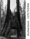 tuolumne grove is a sequoia... | Shutterstock . vector #1191732406