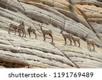 A Band Or Herd Of Big Horn...