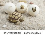 Stock photo close up baby tortoise hatching african spurred tortoise birth of new life cute baby animal 1191801823