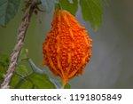 momordica charantia called as... | Shutterstock . vector #1191805849