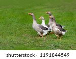 group of domestic geese in the... | Shutterstock . vector #1191844549