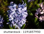 soft focus image of hyacinth...   Shutterstock . vector #1191857950