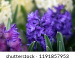 soft focus image of hyacinth...   Shutterstock . vector #1191857953