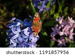 soft focus image of hyacinth...   Shutterstock . vector #1191857956