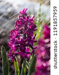 soft focus image of hyacinth...   Shutterstock . vector #1191857959