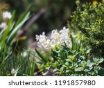 soft focus image of hyacinth...   Shutterstock . vector #1191857980