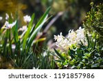 soft focus image of hyacinth...   Shutterstock . vector #1191857986