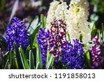 soft focus image of hyacinth...   Shutterstock . vector #1191858013
