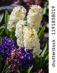 soft focus image of hyacinth...   Shutterstock . vector #1191858019