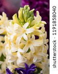 soft focus image of hyacinth...   Shutterstock . vector #1191858040