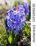 soft focus image of hyacinth...   Shutterstock . vector #1191858130