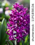 soft focus image of hyacinth...   Shutterstock . vector #1191858136