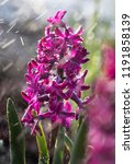 soft focus image of hyacinth...   Shutterstock . vector #1191858139