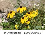 black eyed susan or rudbeckia... | Shutterstock . vector #1191905413