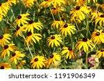 black eyed susan or rudbeckia... | Shutterstock . vector #1191906349