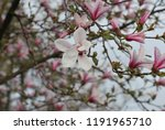 magnolia blossom in bloom with... | Shutterstock . vector #1191965710