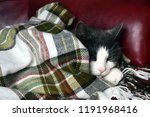 a gray cat with a white snout... | Shutterstock . vector #1191968416