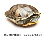 Pet Turtle Red Eared Slider Or...