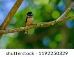 black and yellow broadbills... | Shutterstock . vector #1192250329