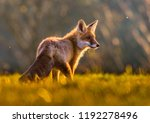cute red fox  vulpes vulpes in... | Shutterstock . vector #1192278496