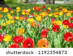 Beautiful Colorful Tulips With...
