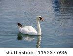 white swan in the lake   Shutterstock . vector #1192375936