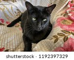 black bombay cat on flowery... | Shutterstock . vector #1192397329