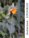 orange hawkweed rotgold hybrids ... | Shutterstock . vector #1192418110