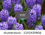 """info plate """"hyacinth blue...   Shutterstock . vector #1192439806"""