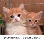 two red kittens in a cage in a... | Shutterstock . vector #1192525540